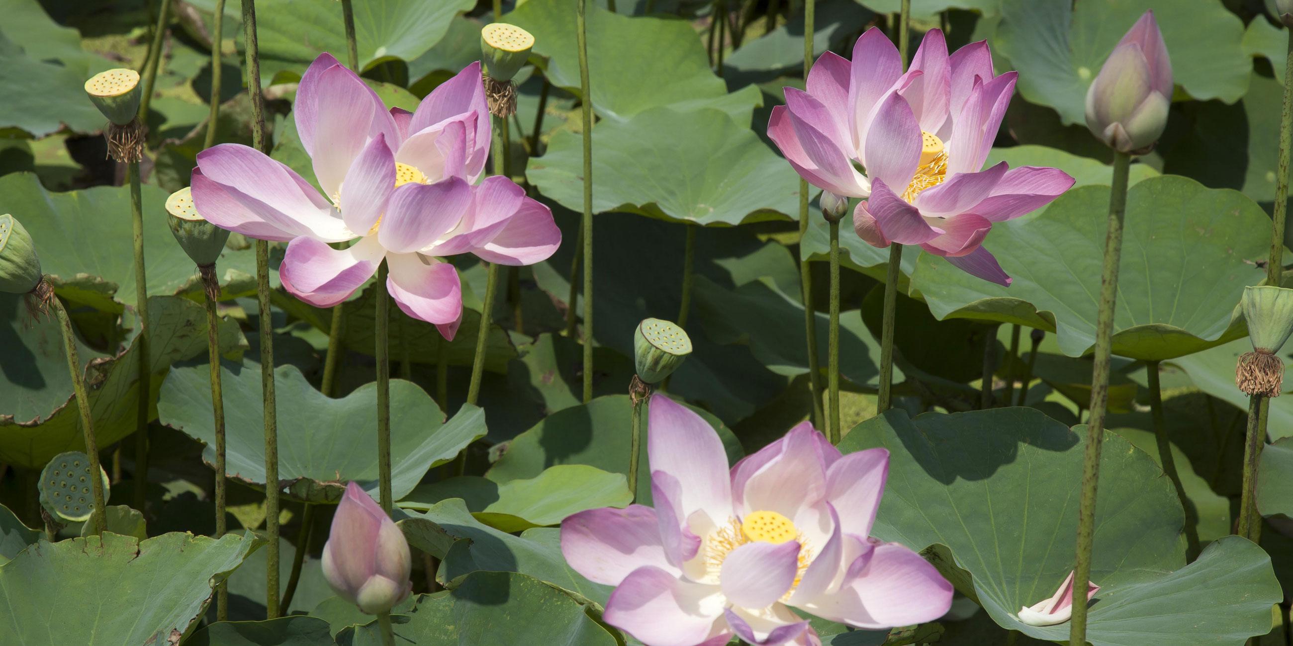 Лотосы цветут с июля по сентябрь - это лучшее время для поездки сюдаФото: globallookpress.com