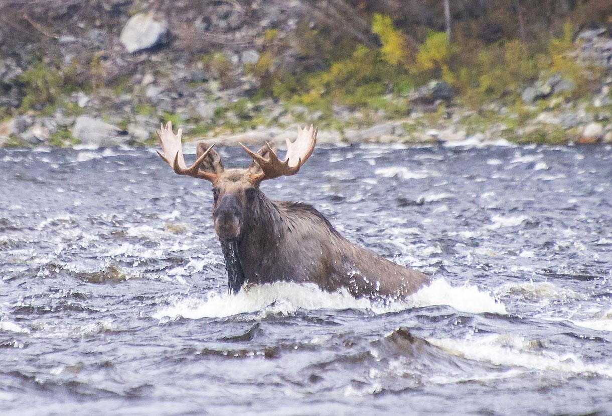 Прямо на реке встретили крупного лося.
