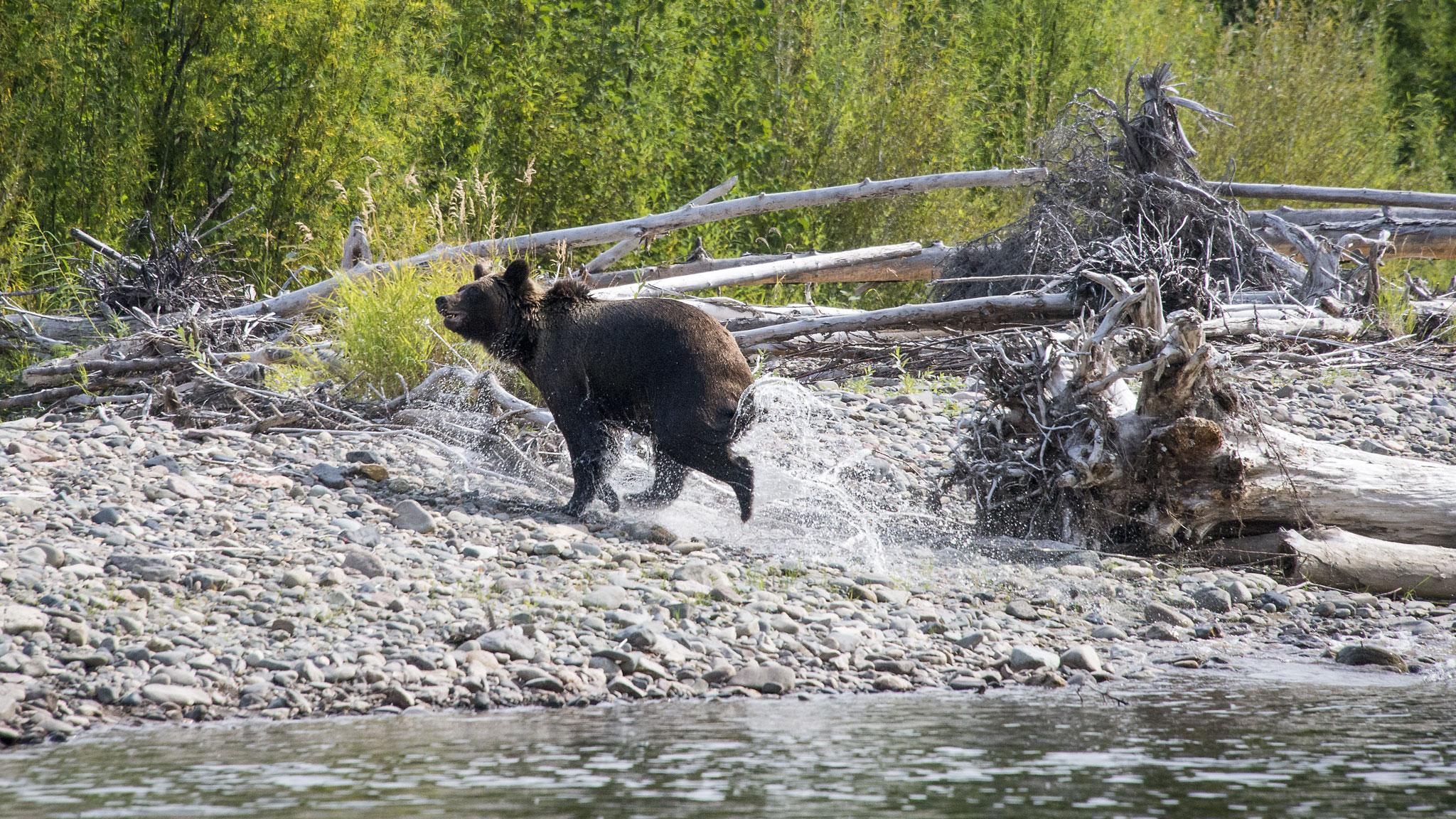 Медведь выскочил из реки...